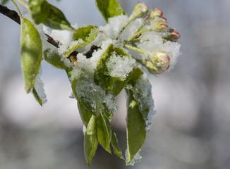 Birnbaumblüte im Schnee