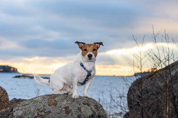 Cute terrier dog with funny ears walking at sunset