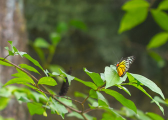 Colorful Jezebel butterfly on a leaf
