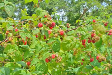 Raspberry-bush 1