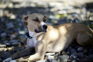pit bull terrier mix dog laying in shade of tree concept humane animal treatment social issue animal rights