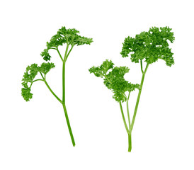 two branches of curly parsley on a white background