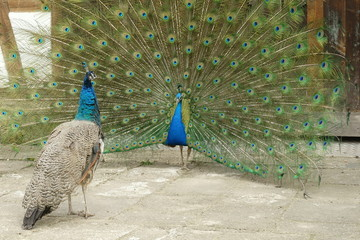peacock with open tail suing a hen