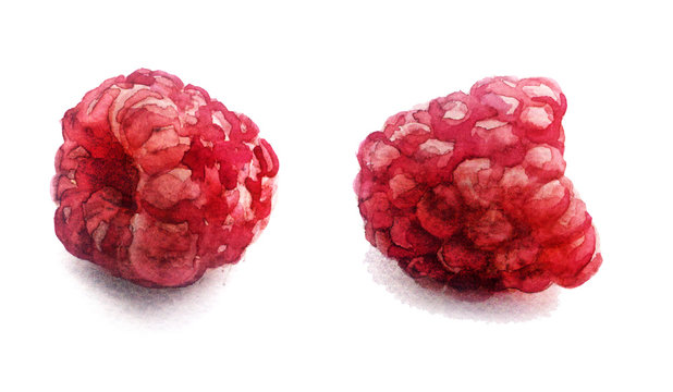 watercolor sketch: fresh raspberry on a white background