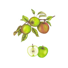 Hnad drawn botanical illustration of apples