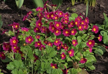 Garden. Purple primrose flowers