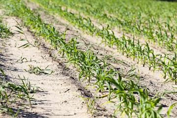 green corn. Spring