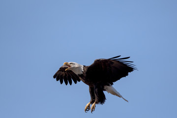 An American Bald Eagle landing on a treee on a beautiful day.