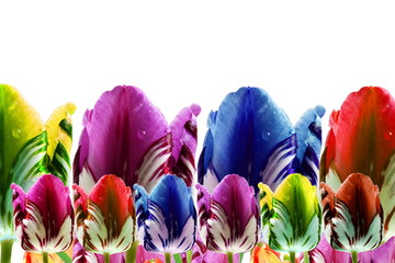 colorful spring tulip flower as background with text copy space