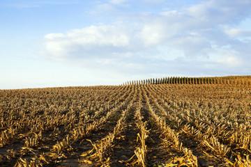 ripe yellow corn