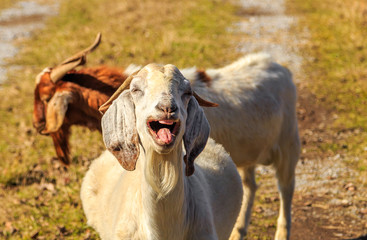 Laughing Nubian Goat: An off-white Nubian Goat appearing to laugh uncontrollably with teeth and tongue showing.  Golden hue due to golden hour.