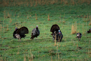 Wild Turkies in Spring