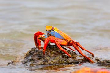 Sally lightfoot crab on Chinese Hat island, Galapagos National P