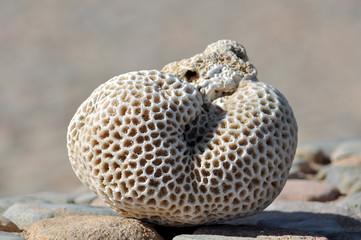 Dry large coral closeup