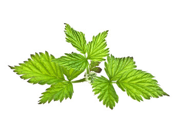 Raspberry leaves isolated on a white background