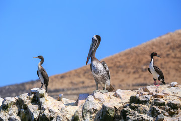 Brown pelican and cormorants in Ballestas islands Reserve in Per