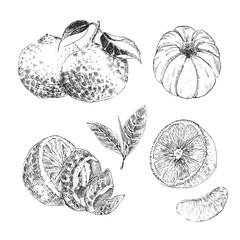 Vintage Ink hand drawn collection of citrus fruits sketch - lemon, tangerine, orange