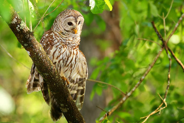 Barred owl (Strix varia) stretching its wing