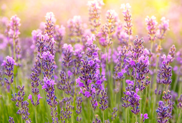 Lavender flowers at sunlight, bright colors and bokeh effect. Floral background with purple...