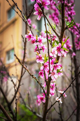 Blooming apricot tree.