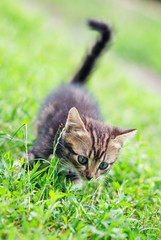 brown stripes cute kitten walking on the grass