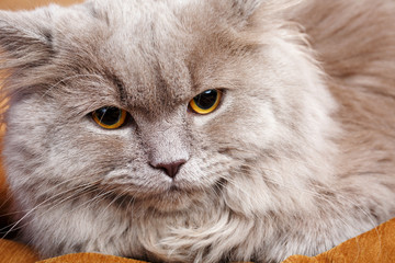 portrait of gray cat with yellow eyes