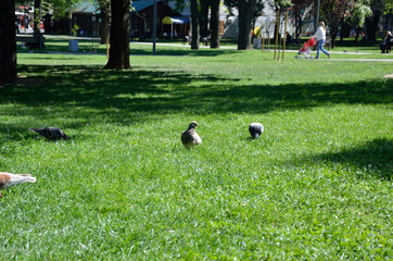 Pigeons on green lawn in city park, in spring time