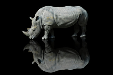 Obraz Nosorożec z pochylonym łbem na czarnym tle z efektem odbicia czarnej pleksy - fototapety do salonu