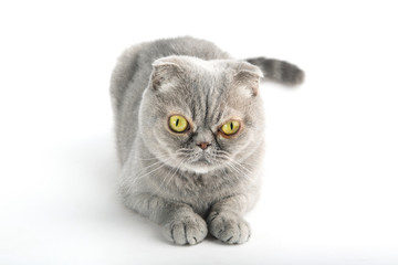 Looking young funny grey cat, isolated on white background