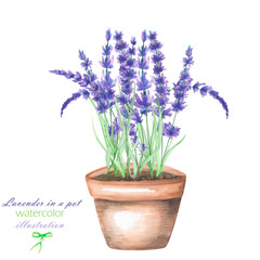 An illustration with the lavender flowers in a pot, isolated hand drawn in a watercolor on a white background