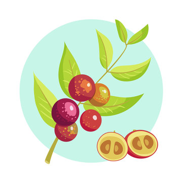 Vector icon of branch with camu camu fruits. Eco organic diet food, superfood. Exotic fruit Myrciaria dubia.