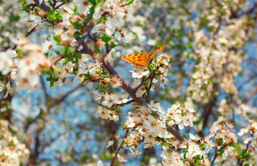 Cherry blossoms and a butterfly on a branch
