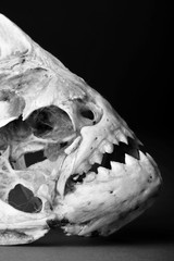 Real Piranha Skeleton.