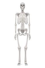 3d renderings of female skeleton