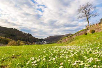 Gänseblümchenwiese in Cochem