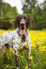 Hunting dog running on meadow
