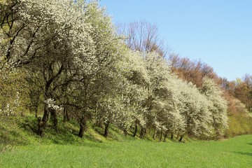 Wall Mural - beautiful blooming cherry trees on sunny spring day