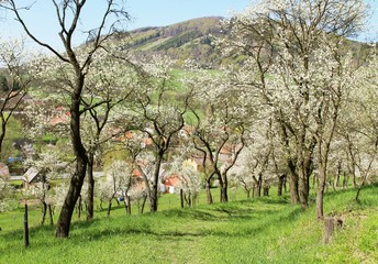 Wall Mural - beautiful blooming cherry trees in the orchard on sunny spring day