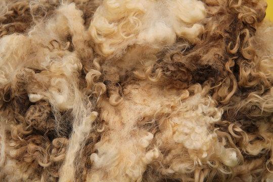 A Recently Sheared Wool Fleece from a Sheep.