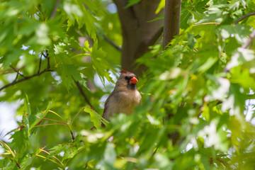 Female Northern Cardinal bird (Cardinalis cardinalis)