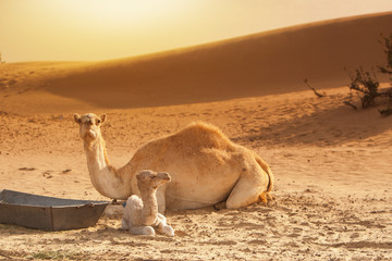 Baby camel/calf and mother resting on sand, beautiful yellow des