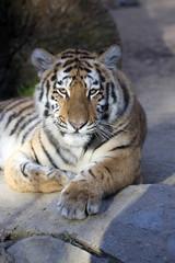 Resting young Amur tiger, Panthera tigris altaica