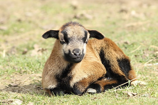 young lazy goat