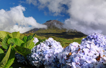 Volcano Mount Pico at Pico island, Azores with hydrangeas in foreground