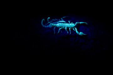 Scorpion in an UV light.