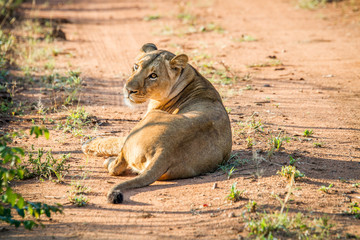 Lioness laying in the road in the Mkuze Game Reserve.