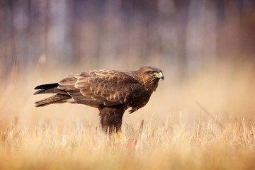 common buzzard in grass