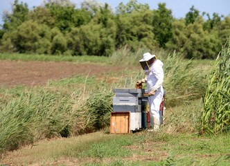 expert beekeeper with protective suit during harvesting honey an