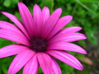 Dark Purple Daisy