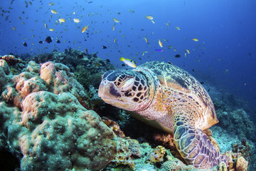 Green Turtle on the sea bed amongst the coral.